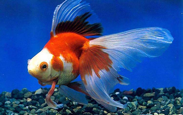 风水鱼死了怎么处理 不要过于紧张